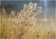 Golden Grasses - Greg Thompson
