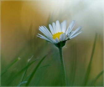 Daisy, daisy - Jillian Selkirk