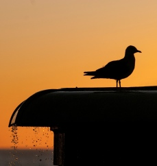 Seagull sunrise - Graham Bailey