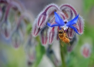 Bee on Borage - Maurice Field
