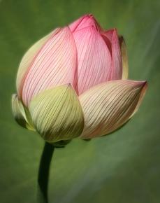 Julie McEwen - Lotus