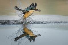 Chris Helliwell - Kingfisher