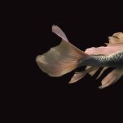 A fishy tail